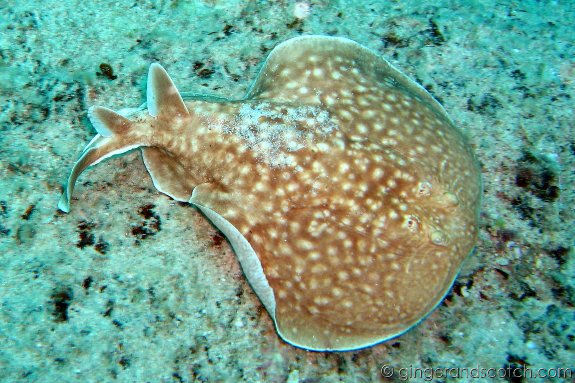 panther electric ray