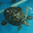 Thumbnail image for Burj Al Arab – Turtle Rehab Center