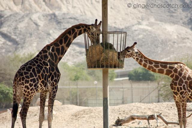 Al Ain Zoo - giraffes