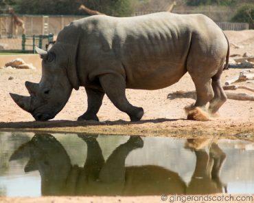 Al Ain Zoo - rhino