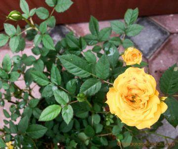Yellow miniature rose