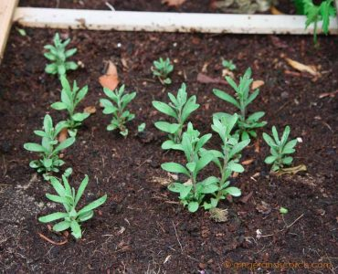 Lavender plants from seed