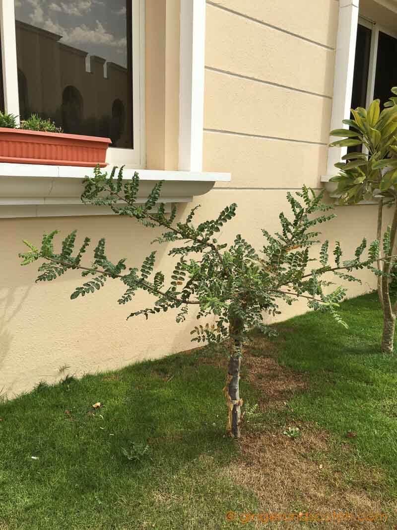 Dubai Garden - Frankincense