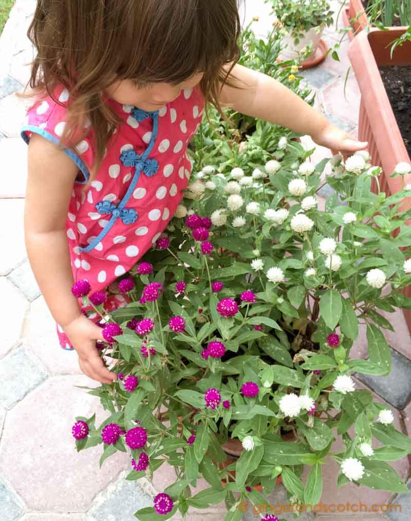 Globe Amaranth - potted in Dubai
