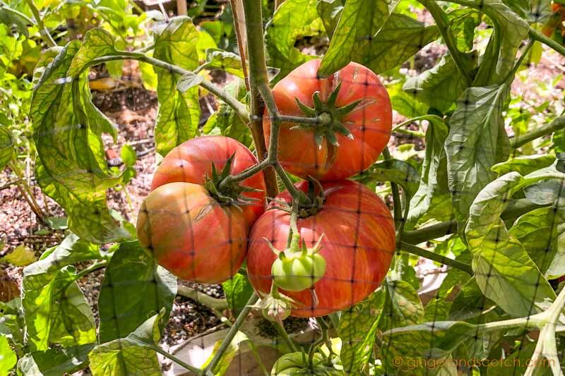 How to Prevent Birds From Eating Your Tomatoes